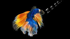 Do Betta Fish Sleep? [Help Your Fish Get Rest]