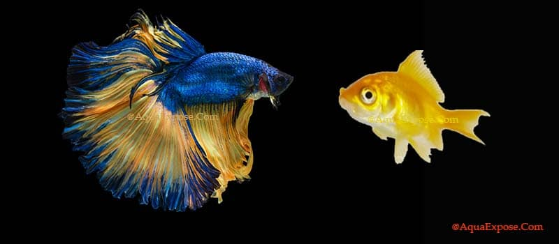 Do Betta Fish Get Lonely And How To Keep Betta With Other Fish?